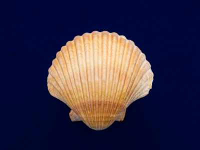 history-of-Hair-Removal-Seashell.jpg